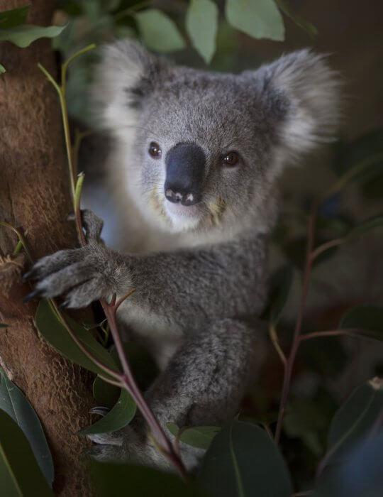 Cuddle a Koala, Sydney Zoo, Australia Zoo, Zoo near me, Wildlife, Splash park